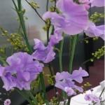 ◇今週のお花◇今日は「スイートピー」の日!